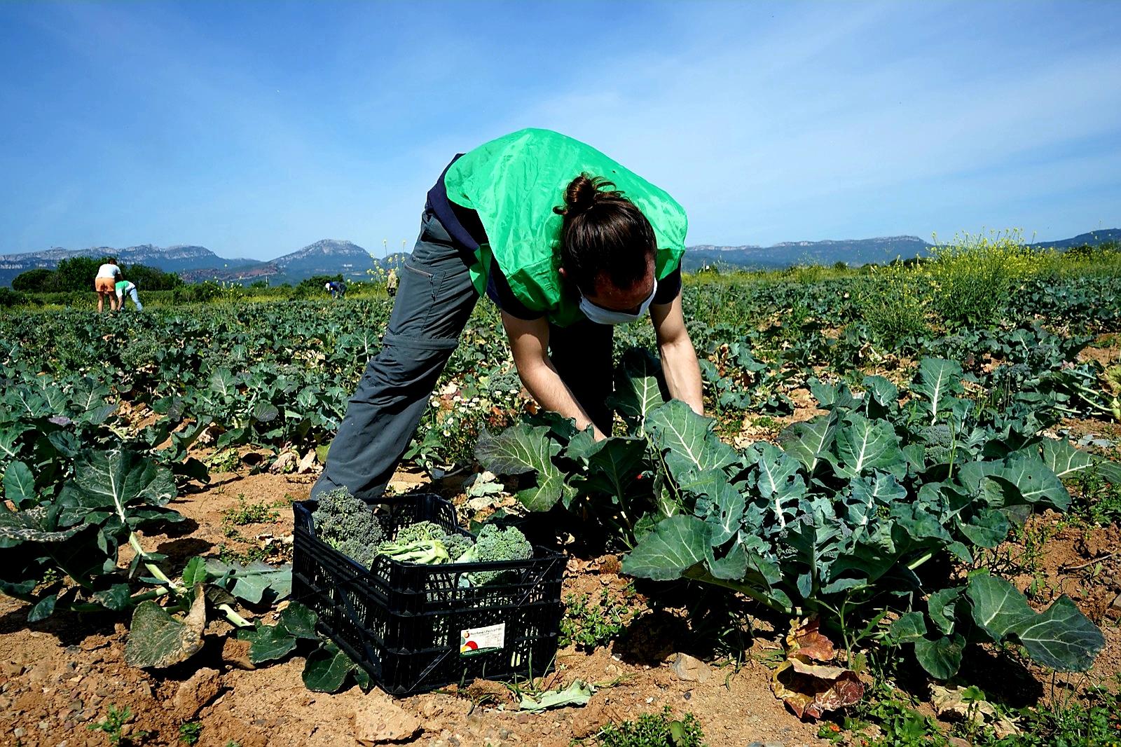 El programa de Gestió Alimentària Responsable de Reus, liderat per la Regidoria de Benestar Social, ha rebut 500 kg de bròquil procedent...