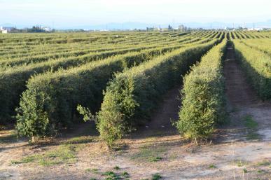 Paisatge d'olivers de la Boella
